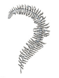 Fern Frond III Giclee Print by Hilary Armstrong