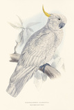 Greater Sulphur-Crested Cockatoo Premium Giclee Print by Edward Lear