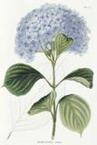 Hydrangea Otaksa Giclee Print