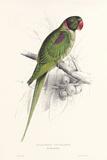 Hooded Parakeet Posters par Edward Lear