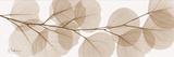 Sepia Kaluptos Eucalyptus Print by Albert Koetsier