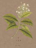 Vintage Botanicals IV Giclée-Druck von Nathaniel Wallich