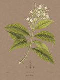 Vintage Botanicals IV Giclee Print by Nathaniel Wallich