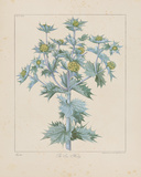 Sea Holly Giclee Print by Basil Besler