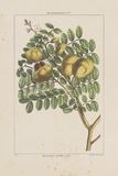 Les Botaniques II Giclee Print by Georg Dionysius Ehret