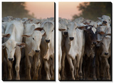 Cows Being Herded Down the Road in the Pantanal Prints by Alex Saberi