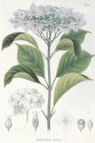 Hydrangea Belizonii Giclee Print