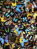 Mariposas Lámina fotográfica por Gulin, Darrell
