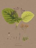 Vintage Botanicals II Giclée-Druck von Nathaniel Wallich