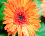 Orange Gerbera Prints by Susan Bryant