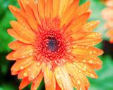 Orange Gerbera Prints by Susan Bryant
