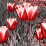 Red Tulips II Prints by Emily Navas