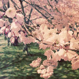 Cherry Blossoms II Posters by Eva Hawk