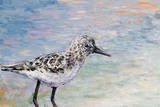 Sandpiper I Print by Walt Johnson