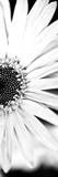 White Bloom I Kunstdrucke von Susan Bryant