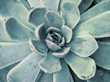 Teal Succulent Posters by Susan Bryant