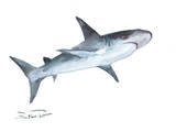 Shark 2 Print by Suren Nersisyan