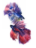Beta Fish 2 Art by Suren Nersisyan
