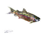 Rainbow Trout Prints by Suren Nersisyan
