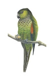 Rock Parakeet Art