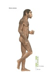 "Homo Erectus, ""Upright Man,"" Which Lived from Approximately 1,700,000 to 200,000 Years Ago Art"