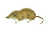 American Pygmy Shrew Prints