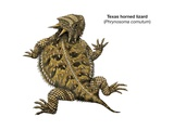 Texas Horned Lizard (Phrynosoma Cornutum) Print
