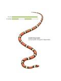 Scarlet King Snake (Lampropeltis Triangulum Elapsoides) Art
