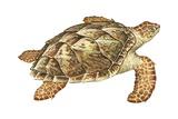 Hawksbill Turtle Posters