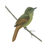Rufous-Tailed Flatbill Posters