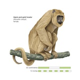 Female Black-And-Gold Howler Monkey (Alouatta Caraya) Prints