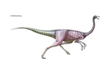 Ornithomimus, Late Cretaceous Dinosaur. a Swift Omnivore with a Small Head and Toothless Prints