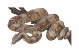 Boa Constrictor Posters
