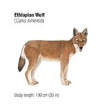 Ethiopian Wolf (Canis Simensis), an Endangered Species Poster