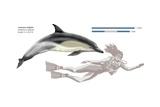 Common Dolphin (Delphinus Delphis) Posters