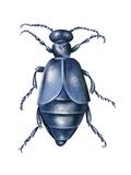 Oil Beetle Prints