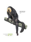 Male Pale-Headed Saki Monkey (Pithecia Pithecia) Posters