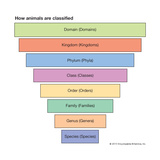 Pyramid of Animal Classification Prints