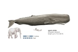 Sperm Whale (Physeter Catodon) Prints