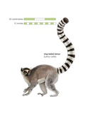 Ring Tailed Lemur (Lemur Catta) Posters
