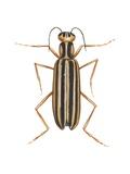 Striped Blister Beetle Print