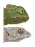 Specialized Eyes of the Chameleon (Chamaeleo) and the Gecko (Gekko) Poster