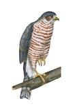 Sharp-Skinned Hawk Prints