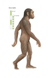 "Homo Habilis, ""Able Man"" or ""Handy Man,"" Which Lived from 2 to 1.5 Million Years Ago Posters"