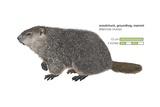 Groundhog (Marmota Monax) Prints