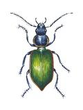 Ground Beetle Art