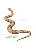 Northern Copperhead (Agkistrodon Contortrix Mokasen) Posters
