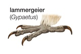 Foot of Lammergeier (Gypaetus Barbatus) Prints