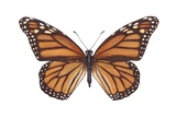 Monarch Butterfly (Danaus Plexippus) Prints