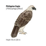 Philippine Eagle (Pithecophaga Jefferyi), an Endangered Species Posters
